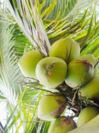 Kokosnuss Palme