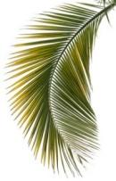 Kokosnuss Palmenblatt