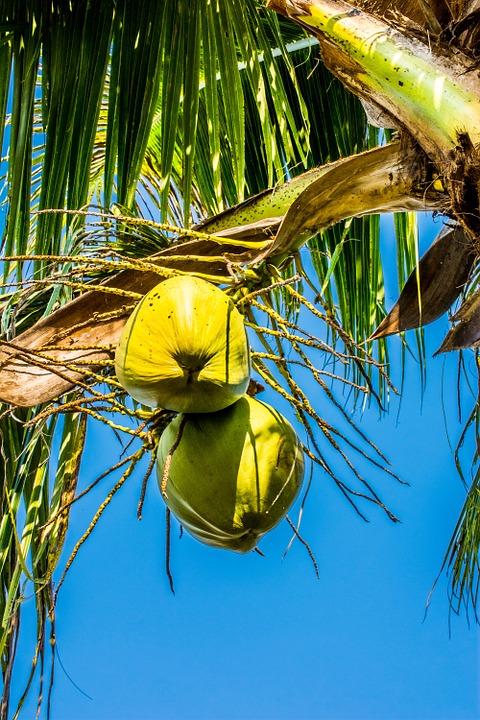 die-kokospalme